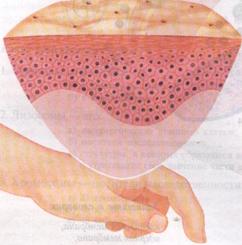 Эпителиальная ткань человека