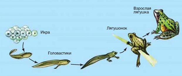 Развитие лягушенка
