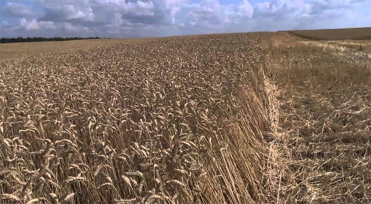 Мягкая пшеница