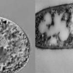 Чем спора отличается от свободной бактерии?