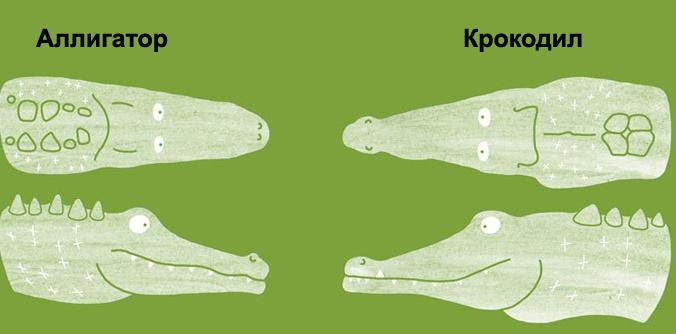 Отличия аллигатора и крокодила