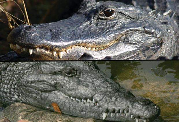Аллигатор и крокодил