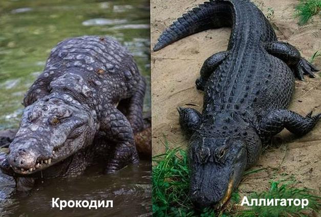 Крокодил с аллигатором
