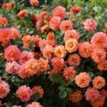 Флорибунда и чайно-гибридная роза — чем они отличаются