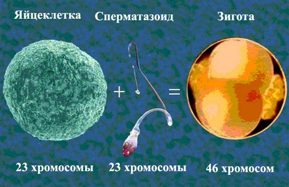Яйцеклетка, сперматазоид, зигота