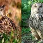 Филин и сова — чем же они отличаются?