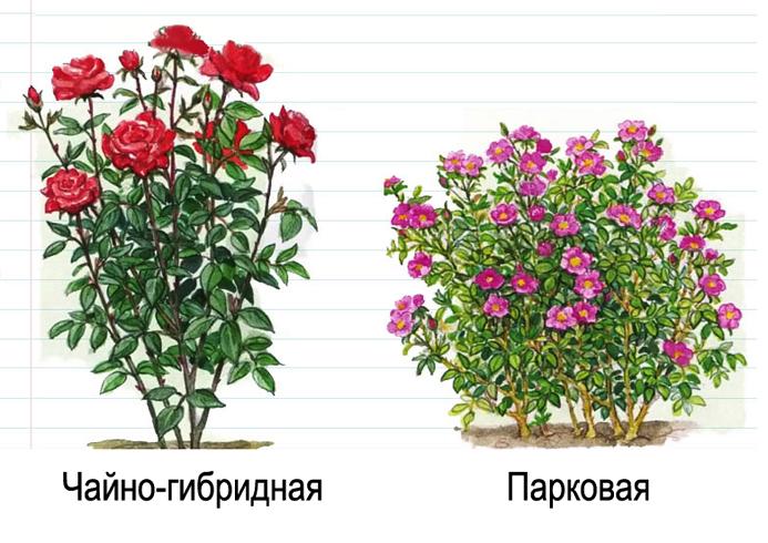 Чайно-гибридная и парковая розы