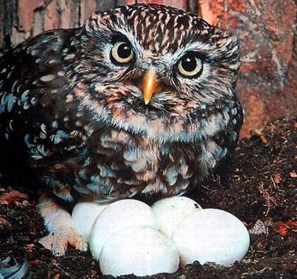 Домовой сыч с яйцами