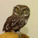 Чем отличается сыч от совы — описание и отличия
