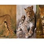 Чем отличается гепард от леопарда и ягуара