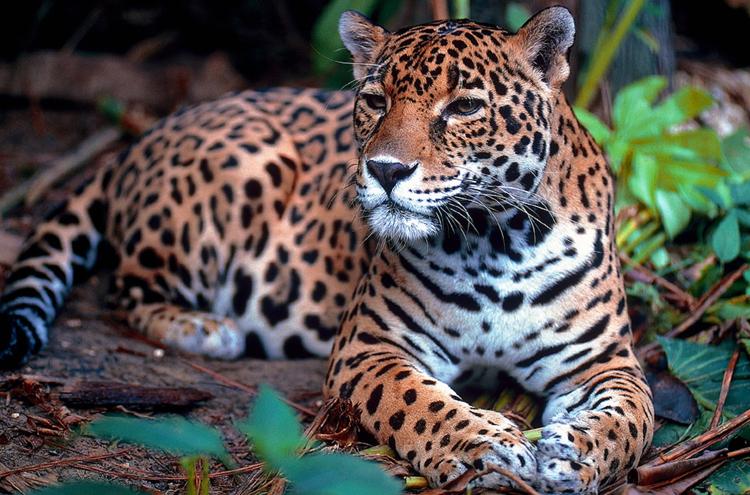 Ягуар в среде обитания