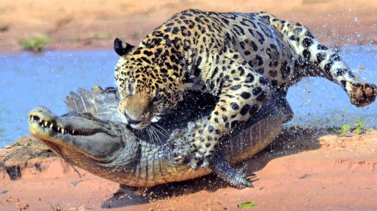 Ягуар с жертвой