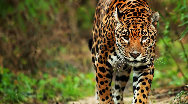 Ягуар ходит