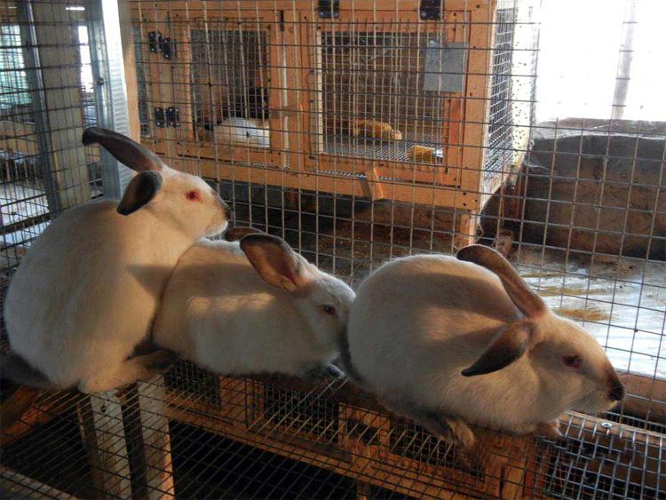 Обычные кролики на ферме