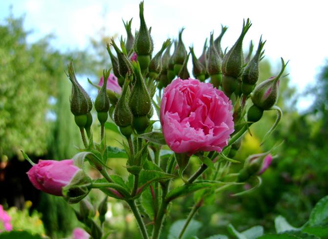 Растущая парковая роза