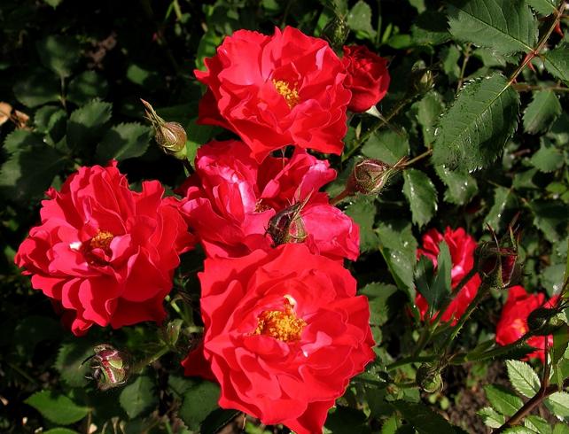 Красивая парковая роза