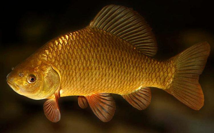 Золотой карась в воде