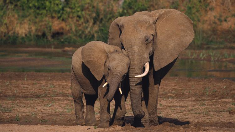 Африканский слоны в среде обитания