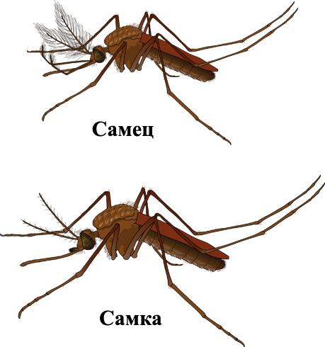 Самец и самка комара