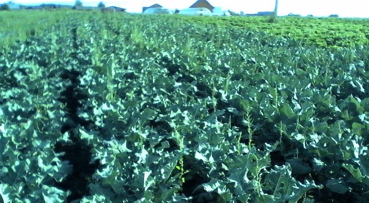Выращивание брокколи