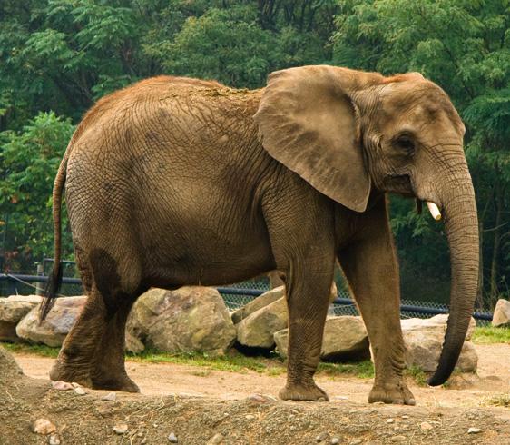 Взрослый африканский слон