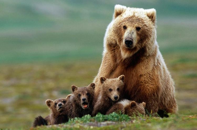 Бурый медведь в детьми