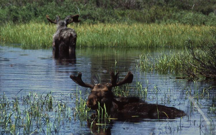 Лоси в воде