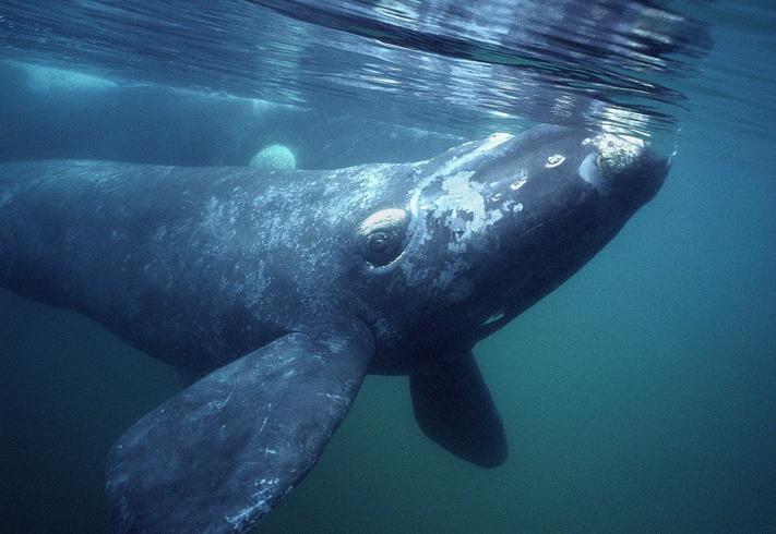 Южный усатый кит