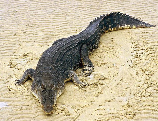 Крокодил в песке