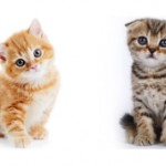 В чем разница между вислоухими котами британцами и шотландцами?
