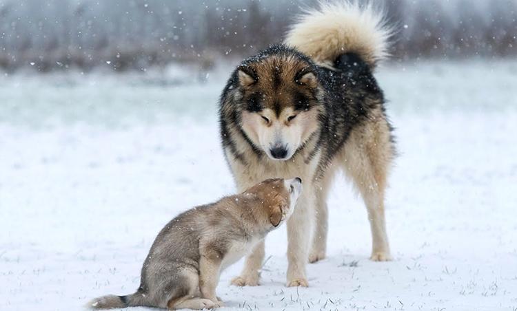 Взрослая собака и щенок