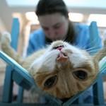 Что лучше выбрать кастрацию или стерилизацию кошки