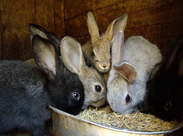 Кролики и зерно