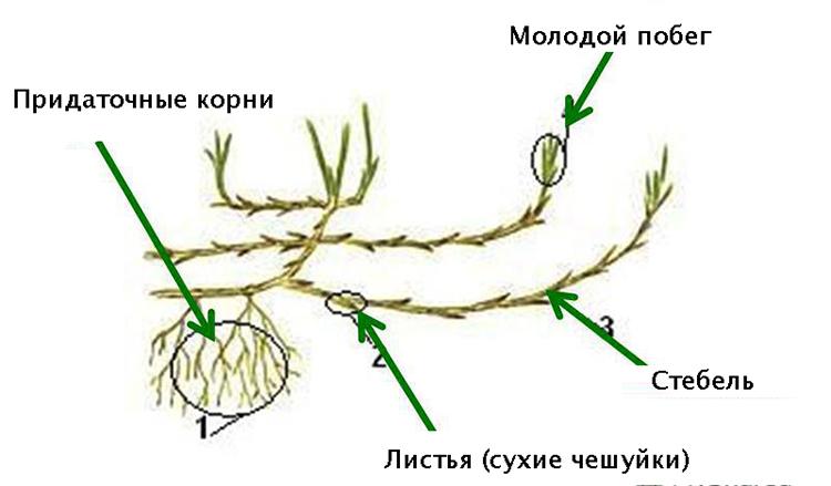 Строение корневища