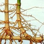 Чем отличается корень от корневища?