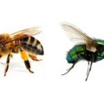 Какая разница между пчелой и мухой?