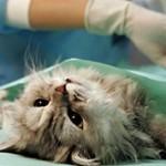 Что лучше для кошки овариоэктомия или овариогистерэктомия