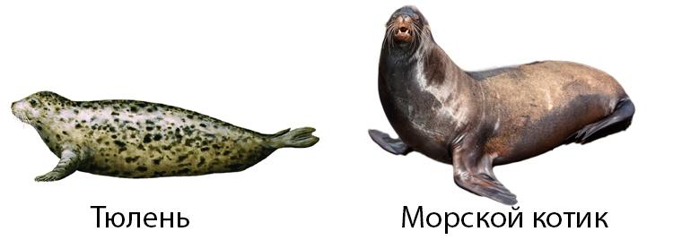 Тюлень и морской котик