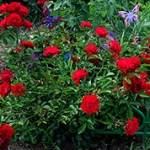 В чем разница между розами корнесобственными и привитыми