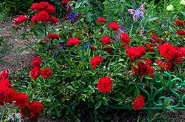roseava