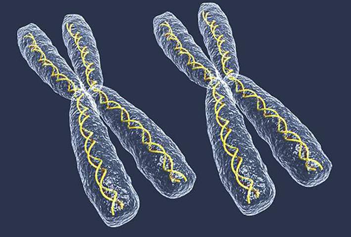 Хромосомы XX