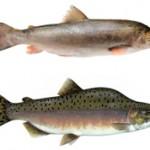 Какая рыба лучше голец или горбуша?