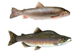fishava